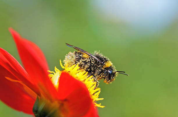 bee on dahlia - bumblebee stock pictures, royalty-free photos & images