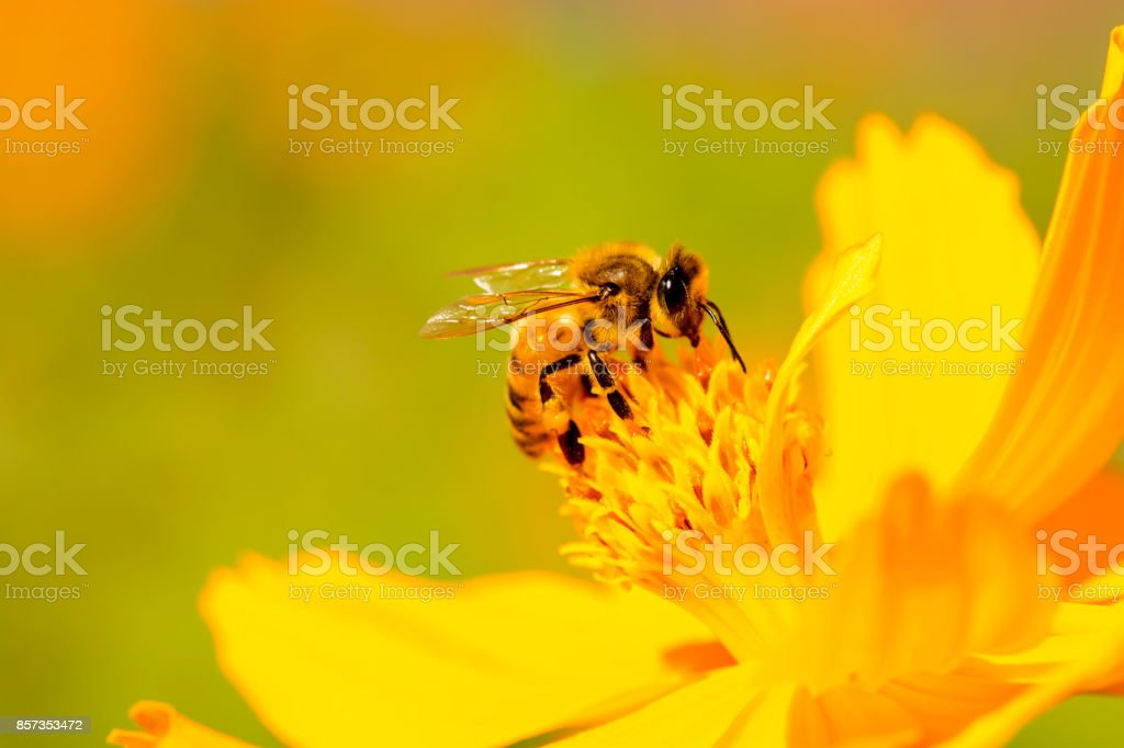 Bee on daisy flower. stock photo