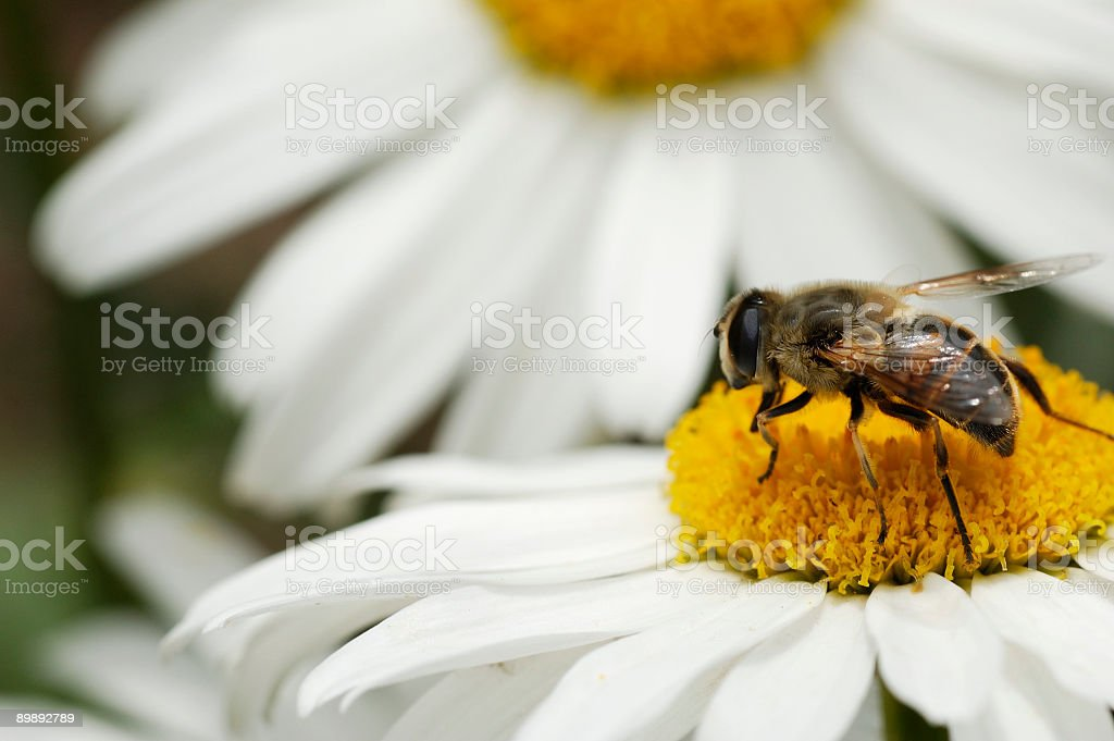 Bee on Daisy royalty-free stock photo
