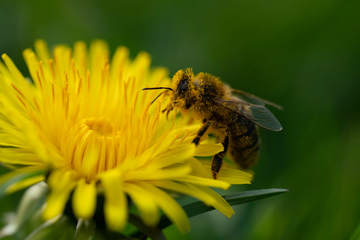 Macro shot of pollen covered Bee on a dandelion