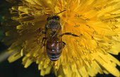 Bee on dandelion (Apis mellifica)