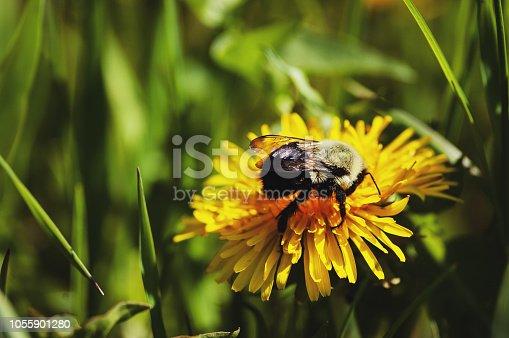 Honey bee on a dandelion.