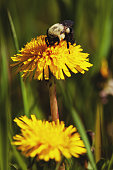 Honey bee on a dandelion.
