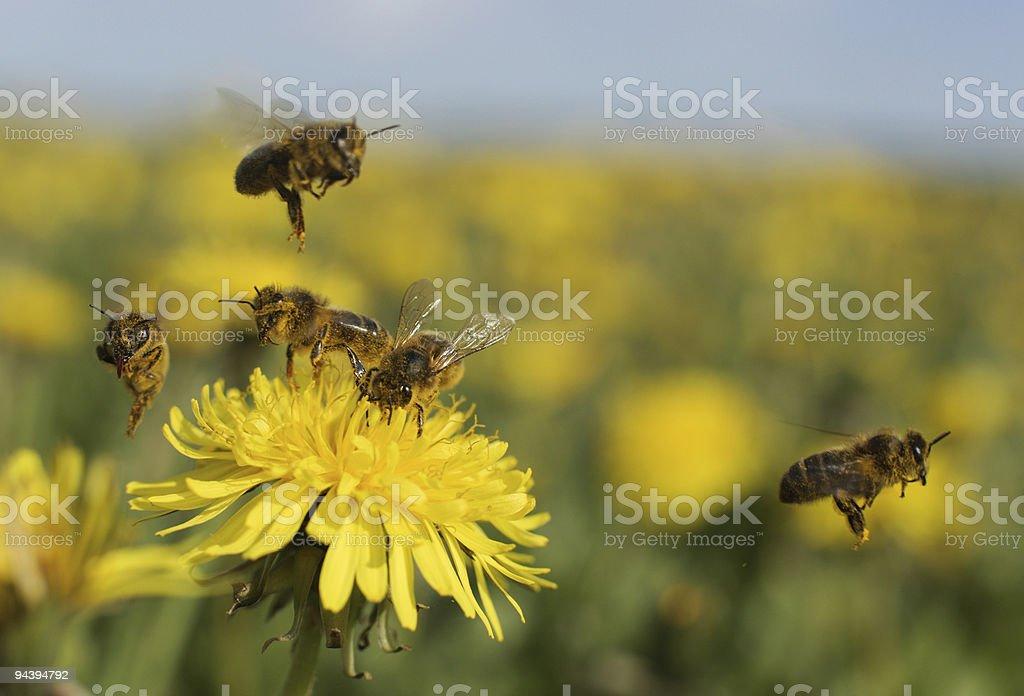 Biene auf Löwenzahn - Lizenzfrei Biene Stock-Foto