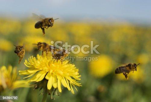 istock Bee on dandelion 94394792