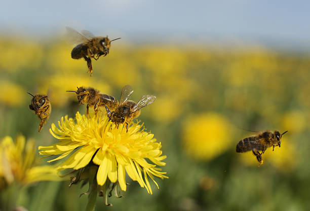 ape su dente di leone - ape domestica foto e immagini stock