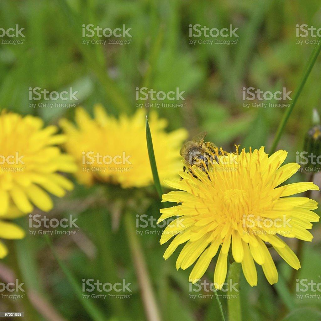 Abeille sur Fleur de pissenlit photo libre de droits