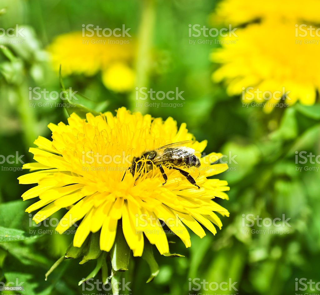 Bee on dandelion royalty-free stock photo
