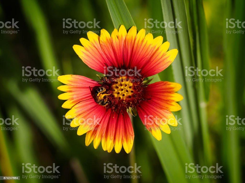 Bee on Firewheel flower - Gaillardia pulchella stock photo