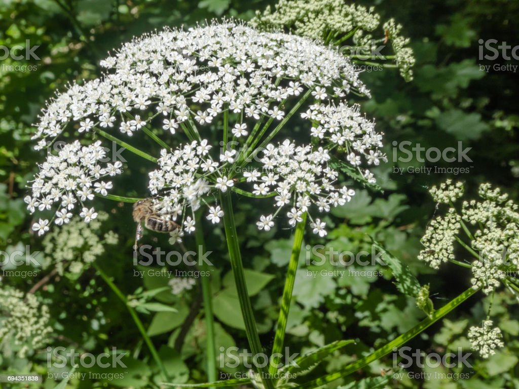 Bee on flower blooming white umbelliferous plant stock photo