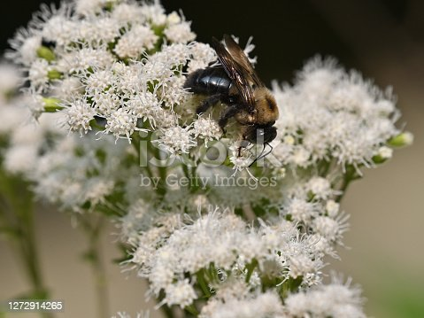 Carpenter bee on cluster of white snakeroot flowers. This bee drills a perfectly round hole in wood to lay its eggs. Snakeroot is toxic to grazing animals, which can pass on the poison through their milk. The root of this plant was once thought to cure snakebites.