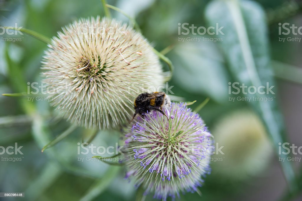 bee on flower, collect pollen from flowers royaltyfri bildbanksbilder