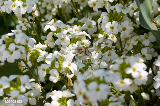Bees store honey dew from the beautiful white flowers in the garden. Insect's lunch