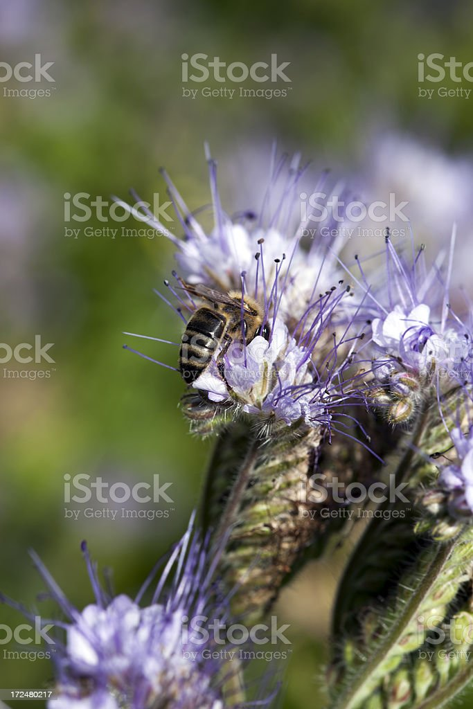 Bee on flower. royalty-free stock photo
