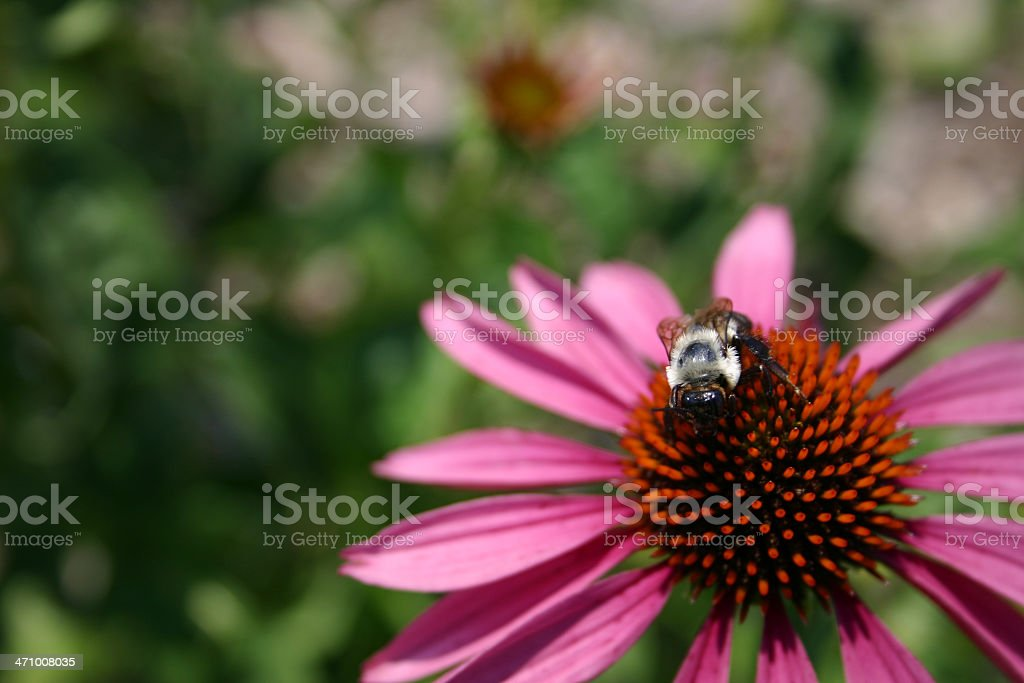 Bee on Flower royalty-free stock photo
