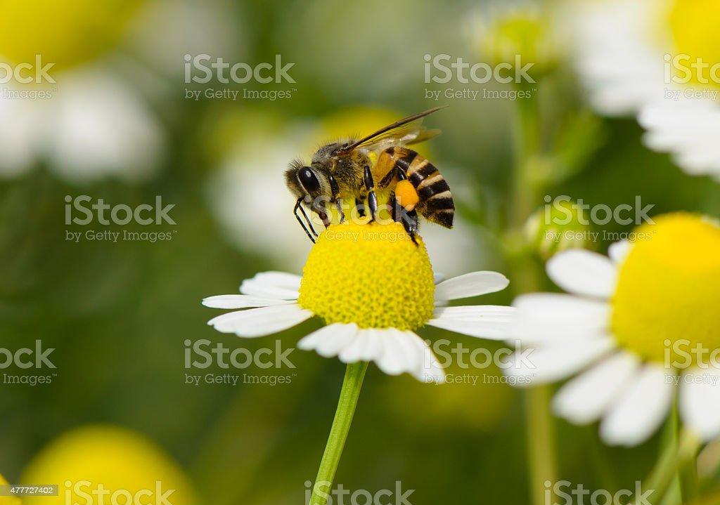 Abeja en flor - foto de stock