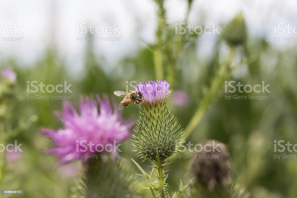 Abeille sur une fleur - Photo