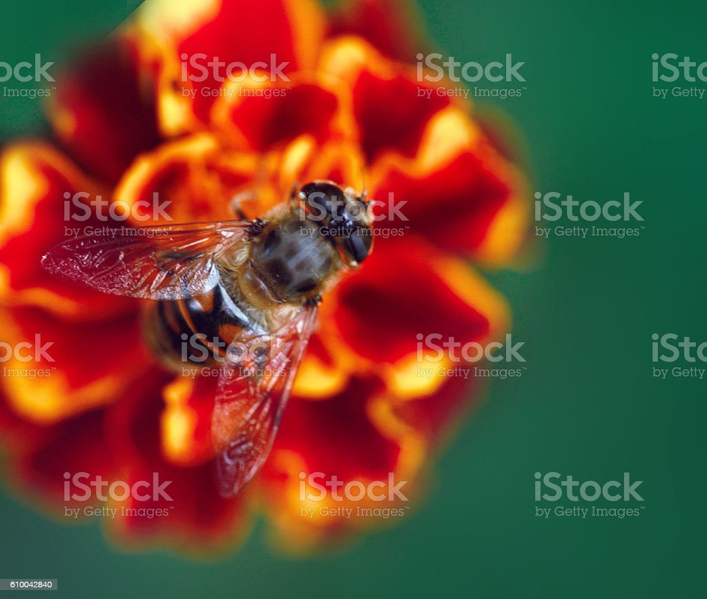 bee on flower stock photo