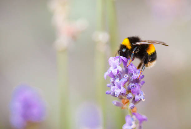 bee on flower - bumblebee stock pictures, royalty-free photos & images