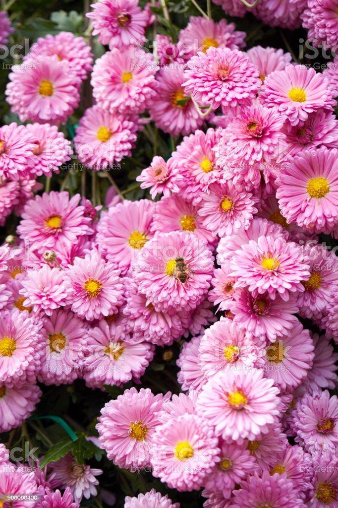 BI på blomma - Royaltyfri Bi - Insekt Bildbanksbilder