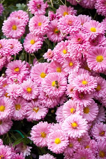 Bi På Blomma-foton och fler bilder på Bi - Insekt