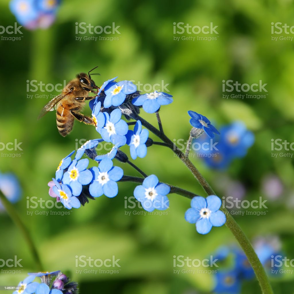 Bee on Forget-Me-Not Flowers stock photo