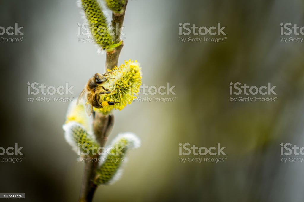 Bee on Goat willow stock photo
