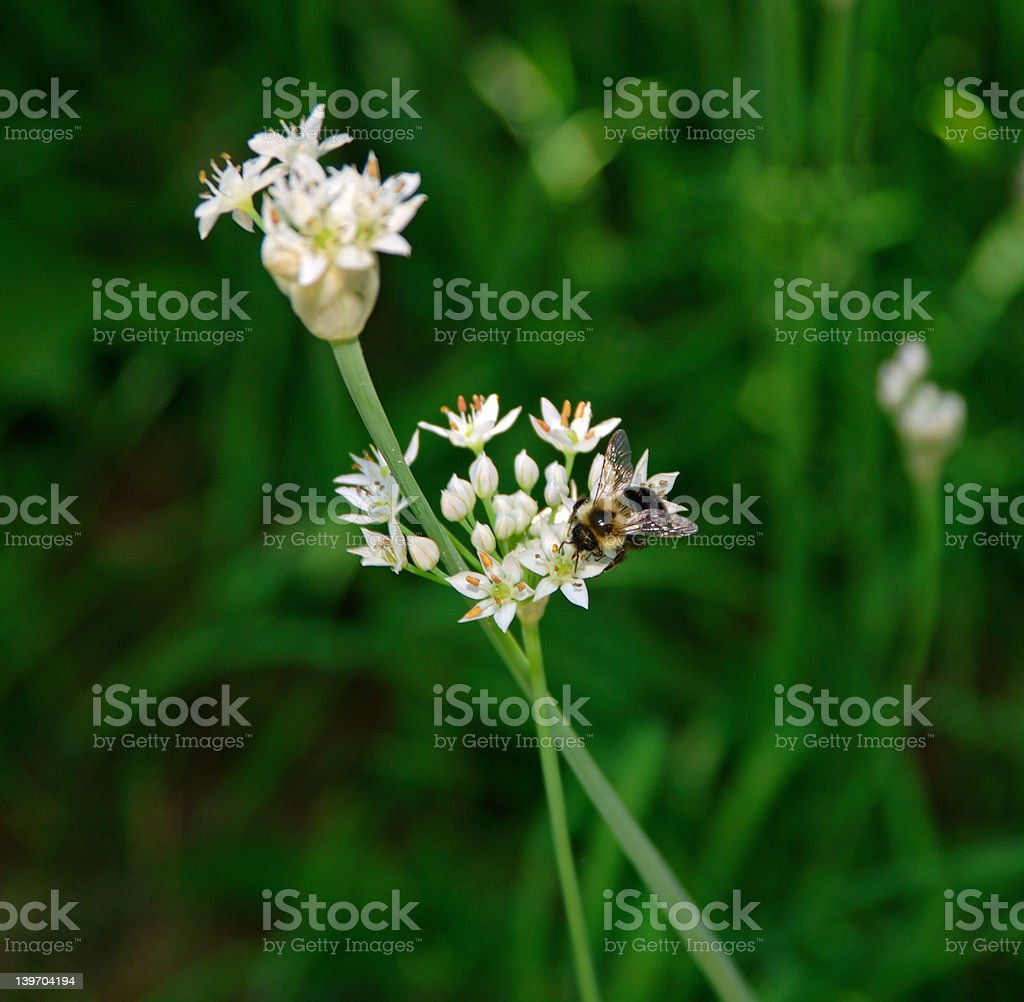 Bee on Green Onion Flowers royalty-free stock photo