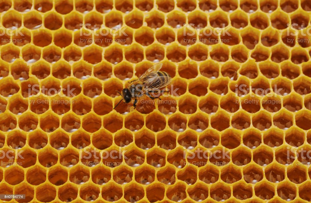 Bee on honeycomb. stock photo