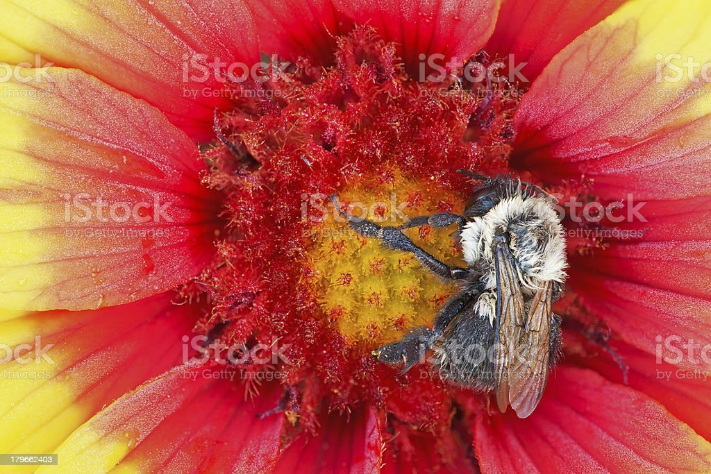 Bee on Indian Blanket royalty-free stock photo
