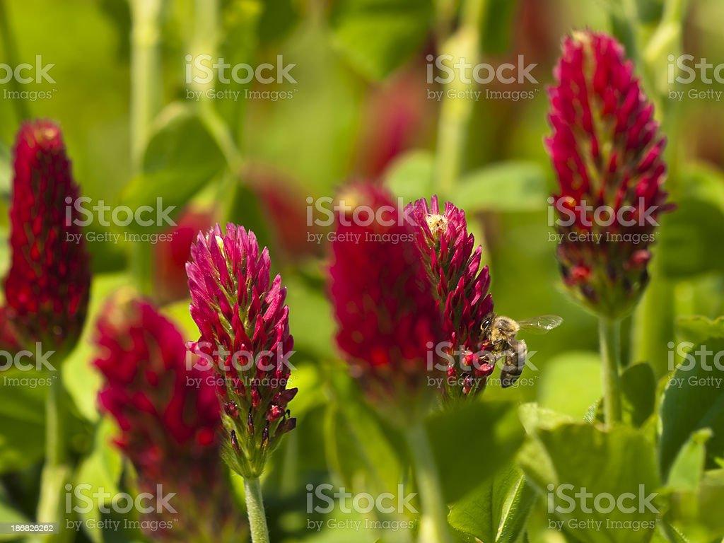 Bee on inkarnatklee stock photo