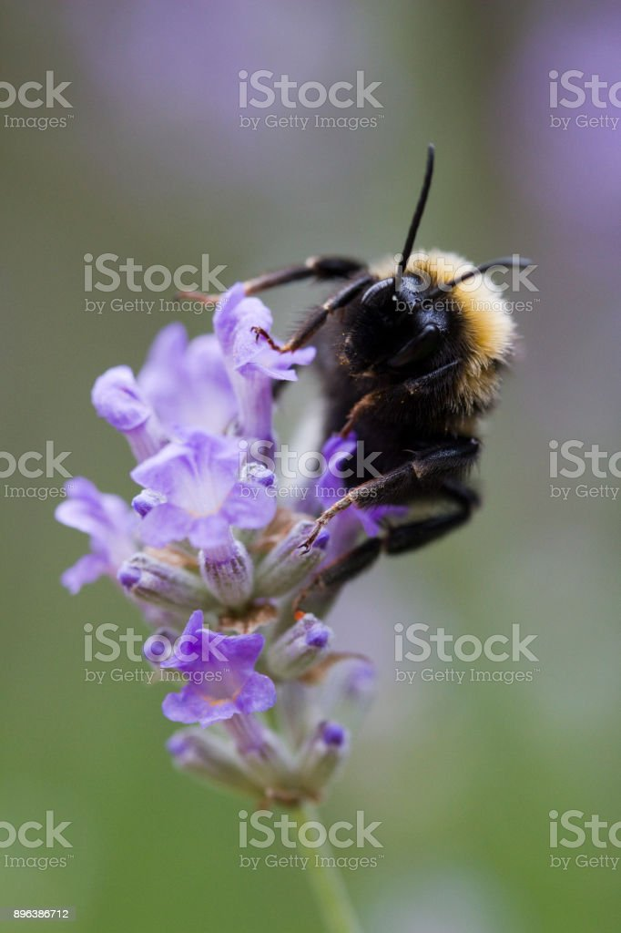 Bee on Lavandula angustifolia (Lavender) 'Ashdown Forest' stock photo