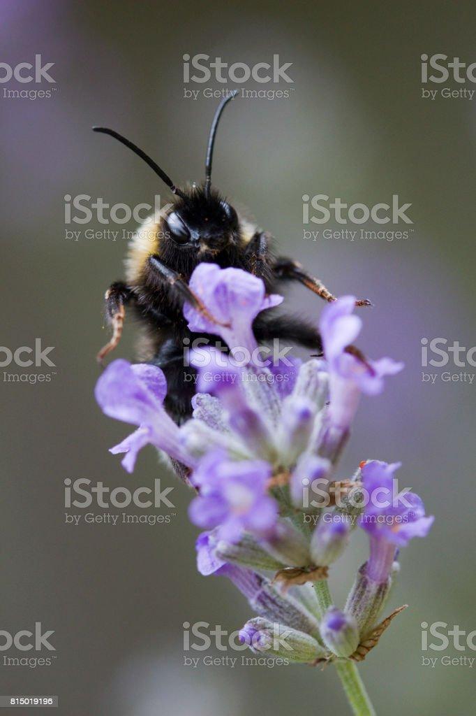 Bee on Lavandula angustifolia (Lavender) stock photo