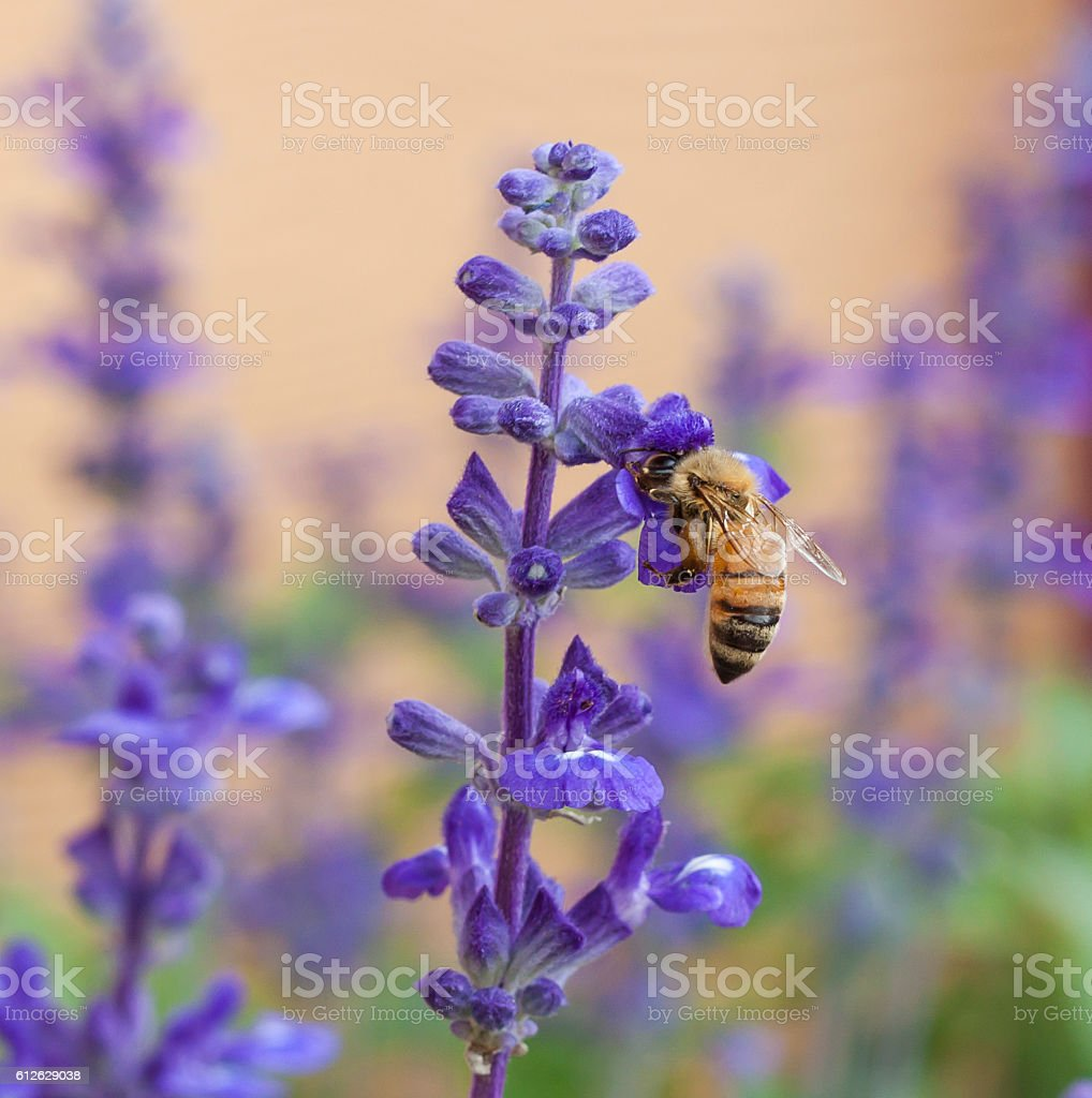 Bee on lavender flower in the garden stock photo