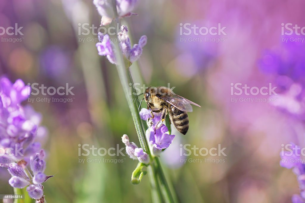 Bee on lavender flower, summer day, multicolour background stock photo