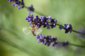 closeup of bee on lavender flowers in a public garden