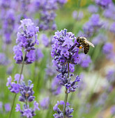 Bee on lavender flowers in summer day