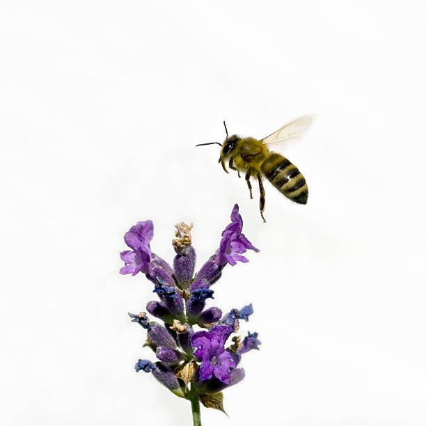 bee on lavender - foderblad bildbanksfoton och bilder