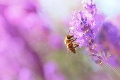 istock Bee on lavender 499735651