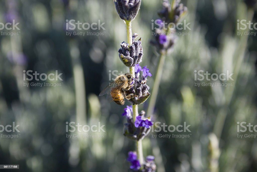 Bee on Lavender royalty-free stock photo