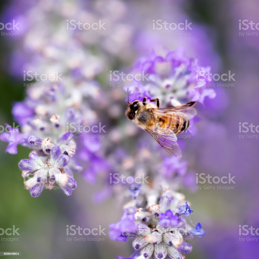 Bee on Lavender Soft Focus stock photo