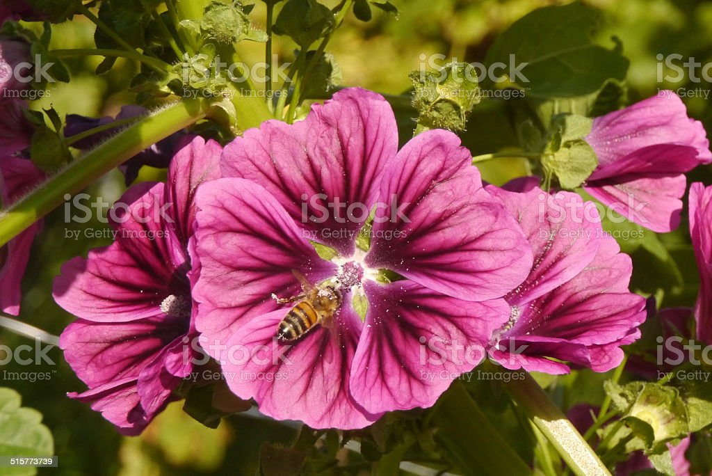 Bee on malva blossom stock photo