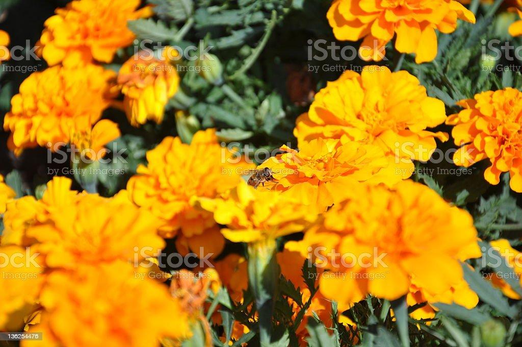 Biene auf marigolds – Foto