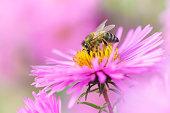 Bee on Michaelmas daisy. Beauty pastel natural background.