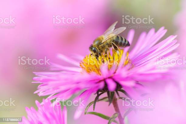 Bee on michaelmas daisy beauty pastel natural background picture id1137886927?b=1&k=6&m=1137886927&s=612x612&h=hkfzratwyy8nit66j1 9bhkb7fbooejkuu c6plsgmy=