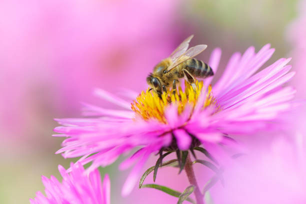 bee on michaelmas daisy. beauty pastel natural background. - ape foto e immagini stock