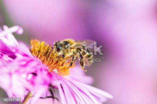 istock Bee on Michaelmas daisy 162244187