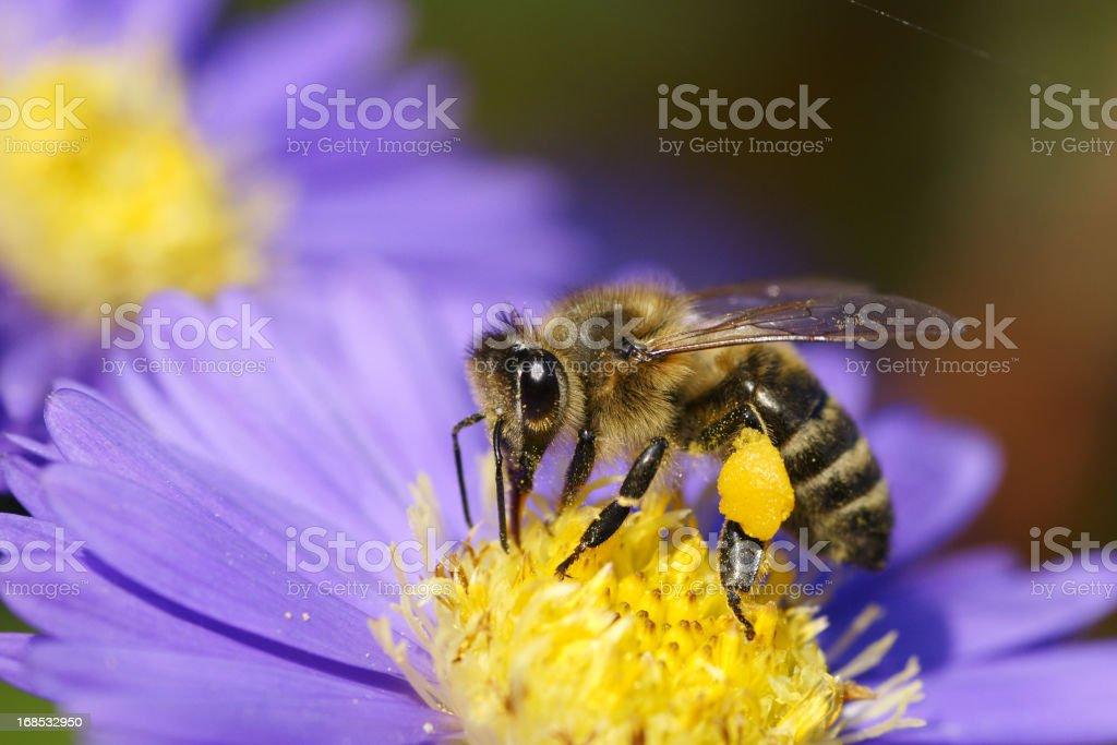 Bee on michaelmas daisy stock photo