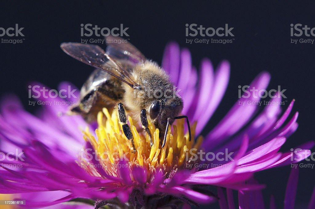 Bee on michaelmas daisy royalty-free stock photo