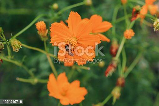 Bee on orange cosmos flower (Cosmos sulphureus) in summer garden with green and floral background.